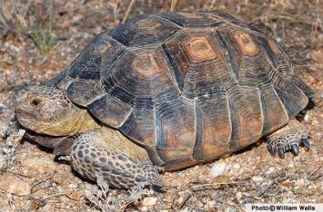 Desert-Tortoise-09